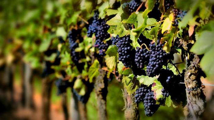 виноград фото -01