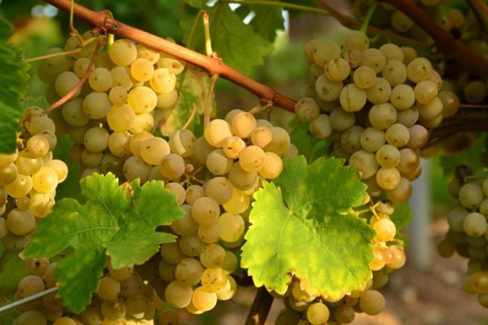 виноград фото -03