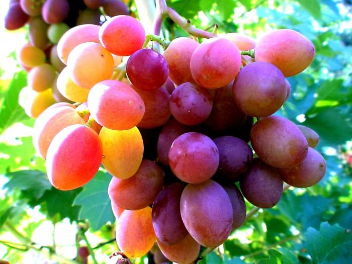 виноград фото -04