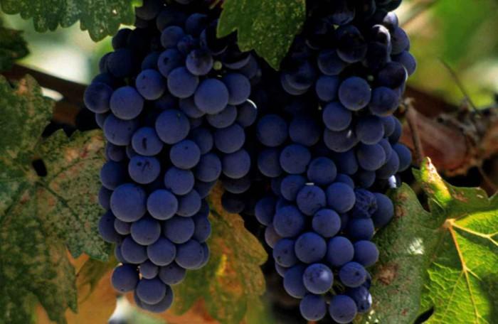 виноград фото -08