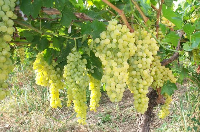 виноград фото -09