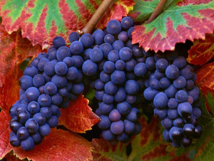 виноград фото -10