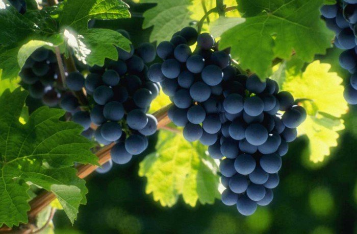 виноград фото -11