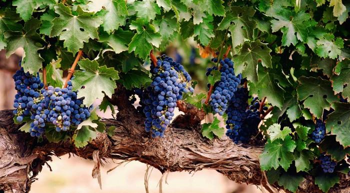 виноград фото -12