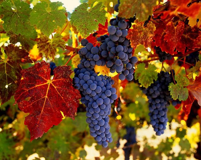виноград фото -13