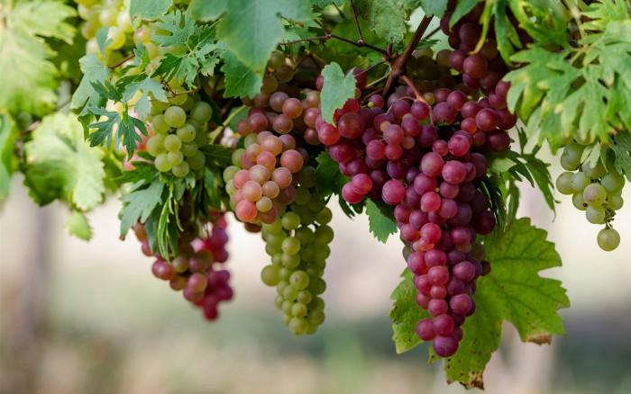 виноград фото -15
