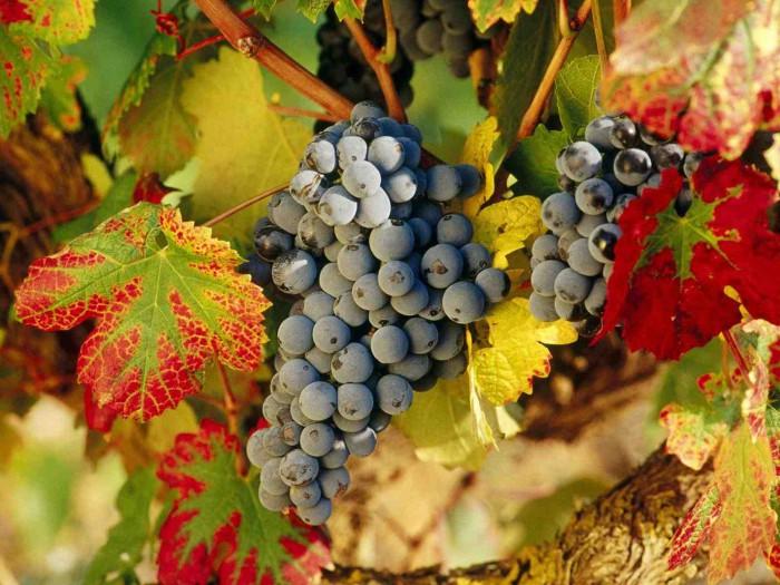 виноград фото - 16