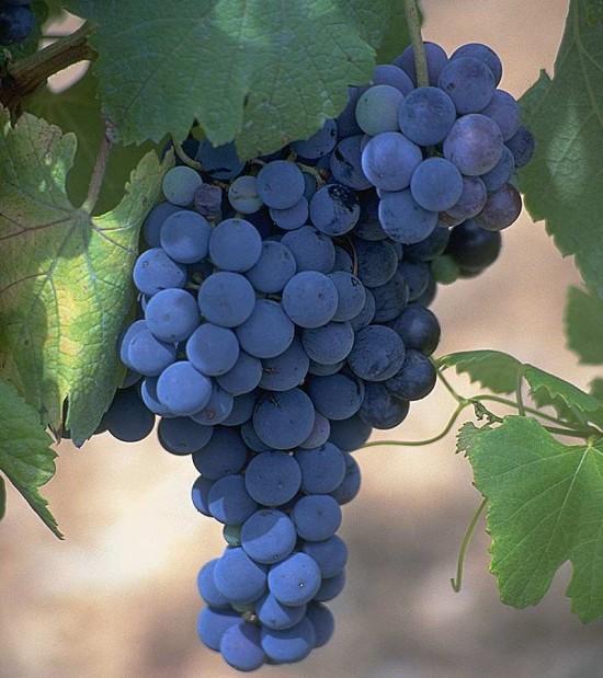виноград фото - 17