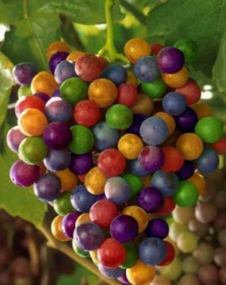 виноград фото - 18